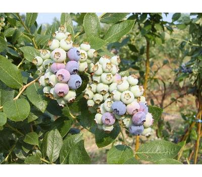 친환경(무농약) 홍가네 냉동 블루베리(특) 1kg